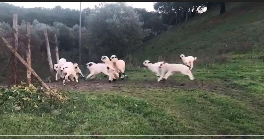 T Ovelhas